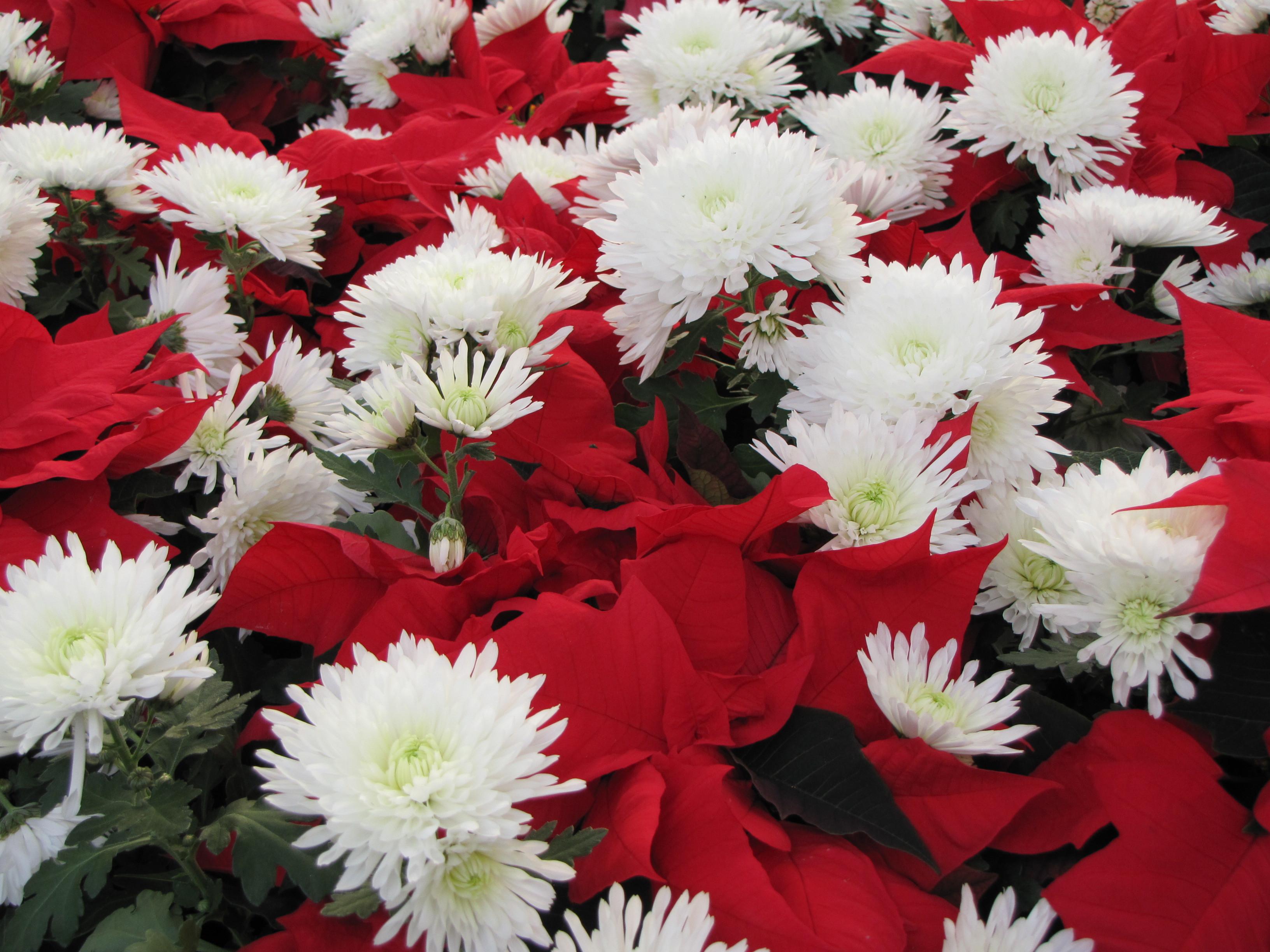 Christmas Flower Images  Your Blog Waynes Website