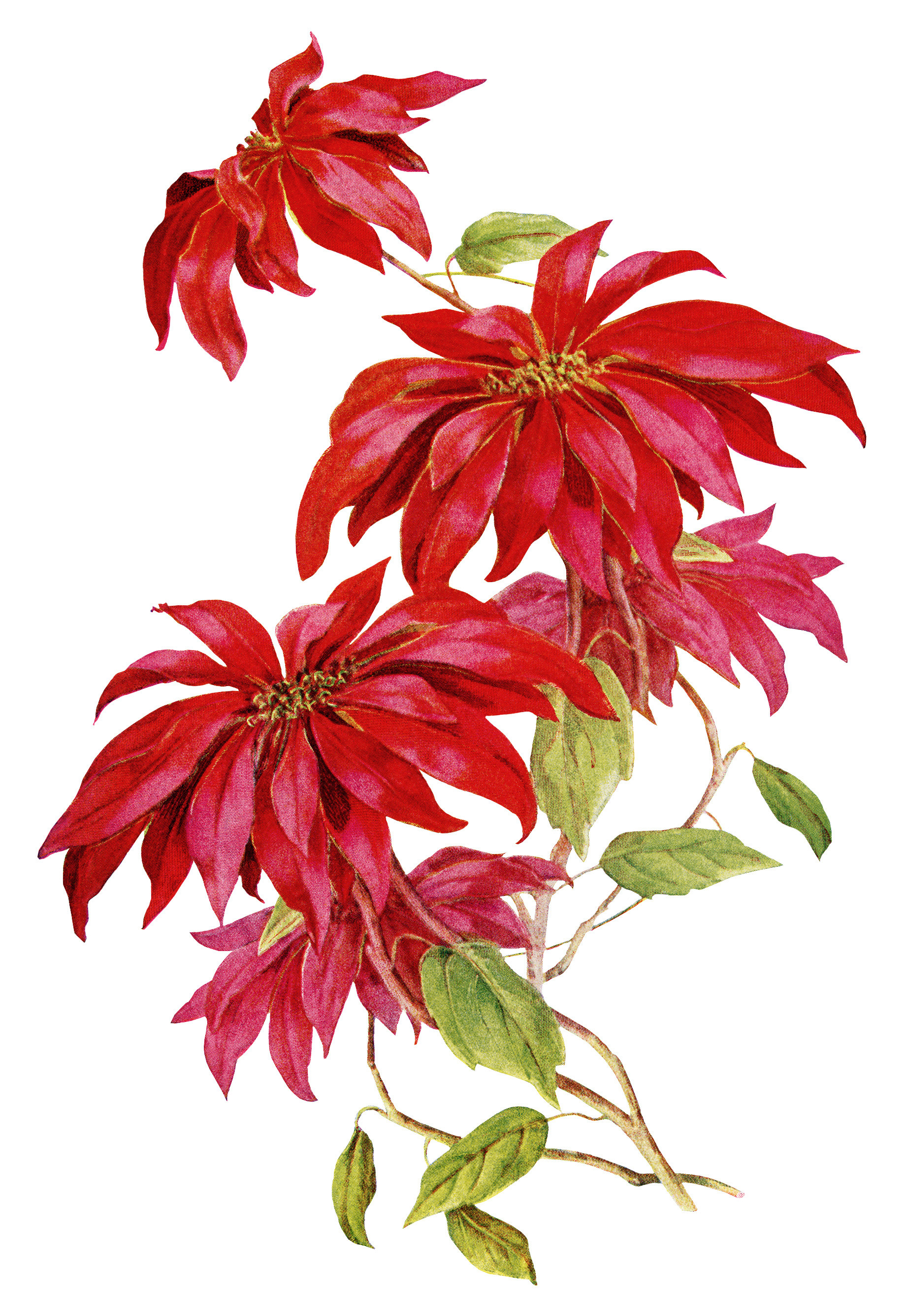 Christmas Flower Images  Poinsettia Christmas Flower Free Vintage Image