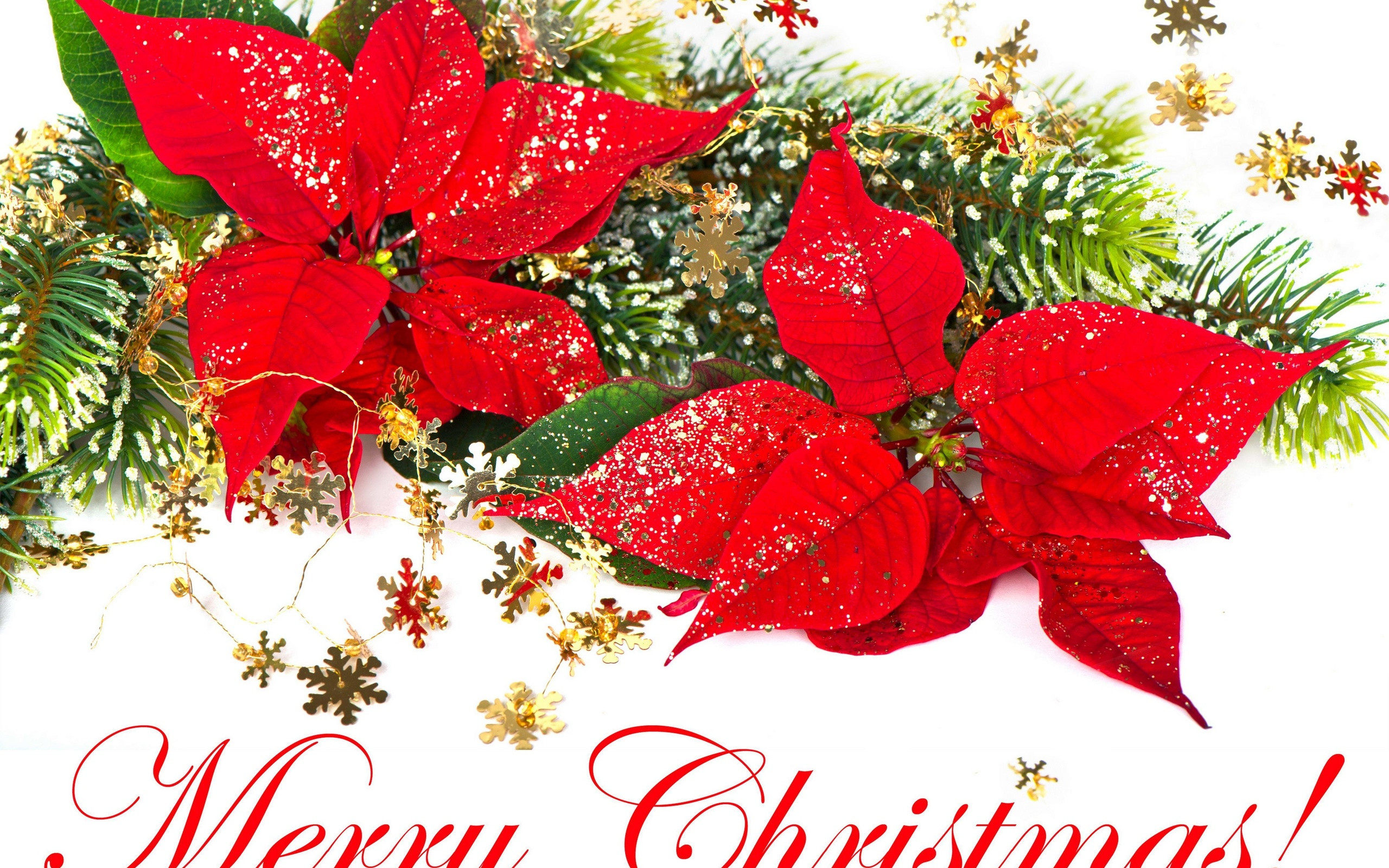 Christmas Flower Images  Red Christmas Flower Poinsettia Merry