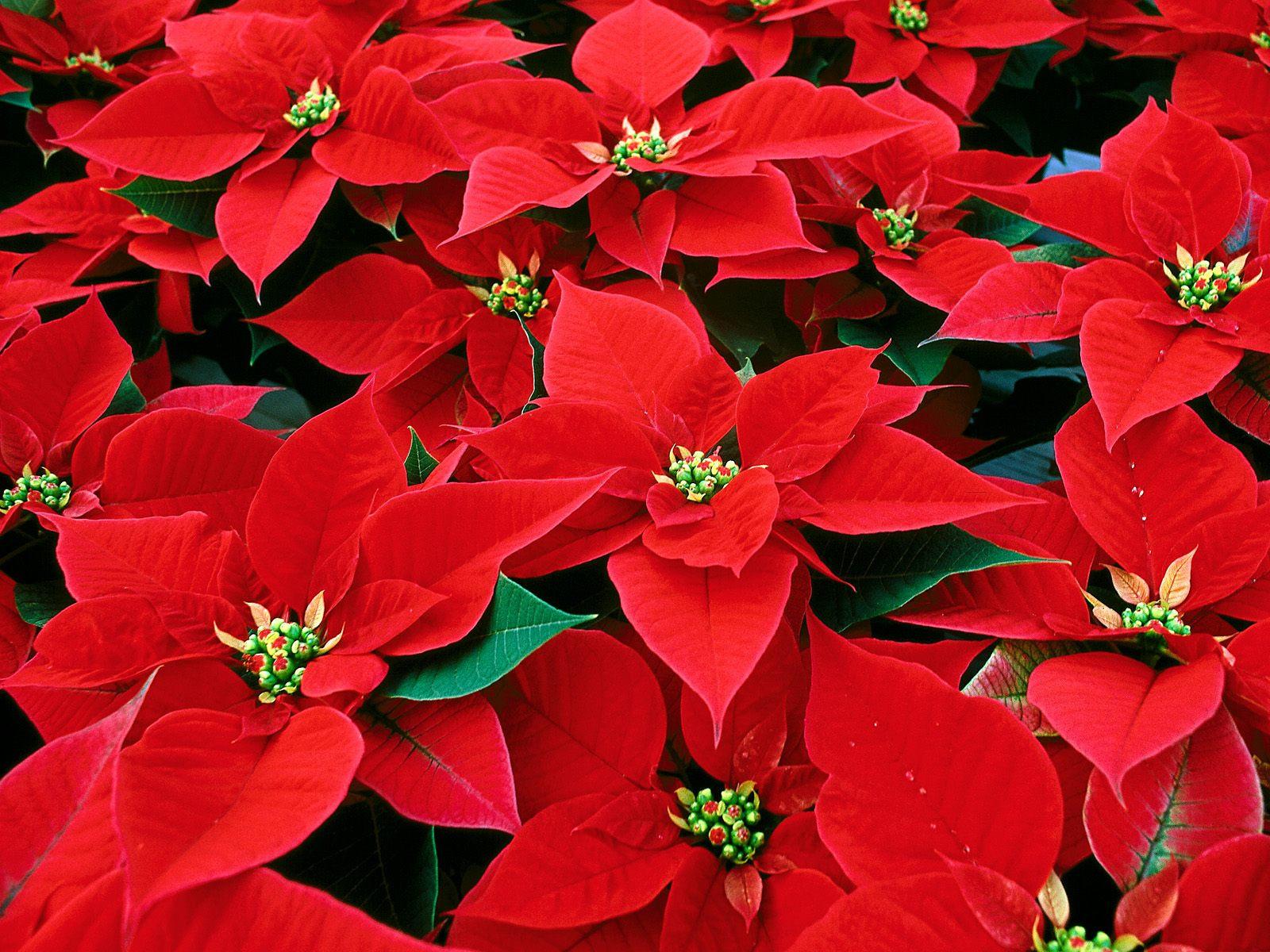 Christmas Flower Images  Poinsettia Flower Christmas Flower