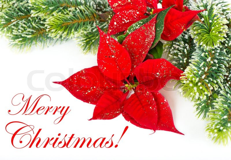 Christmas Flower Images  Christmas Flower with golden decoration