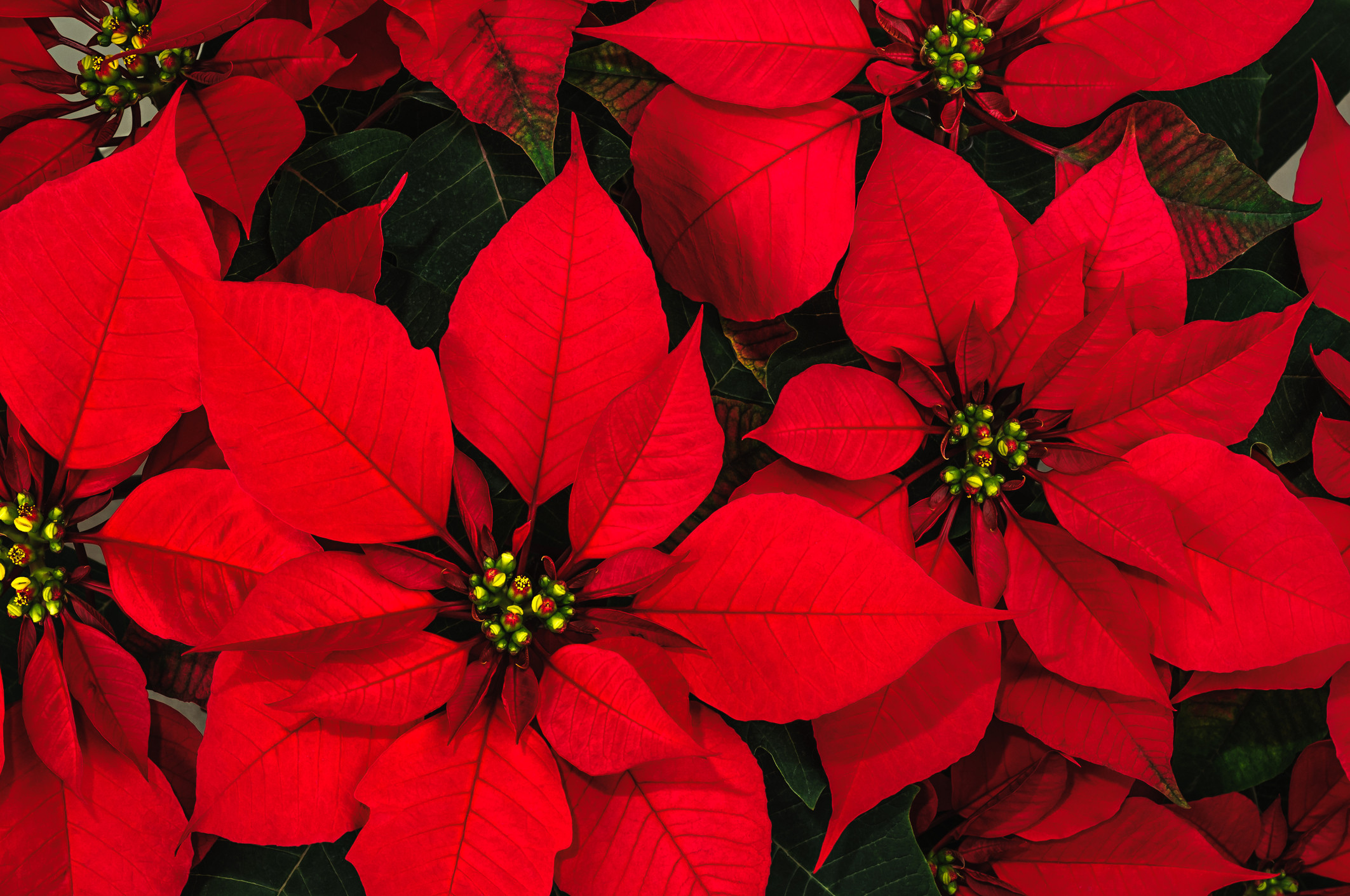 Christmas Flower Images  The Origins of the Poinsettia A Long Strange Tale
