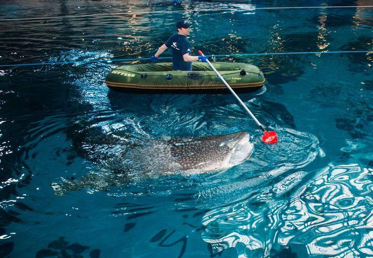 Georgia Aquarium Thanksgiving  17 Best images about whale sharks on Pinterest