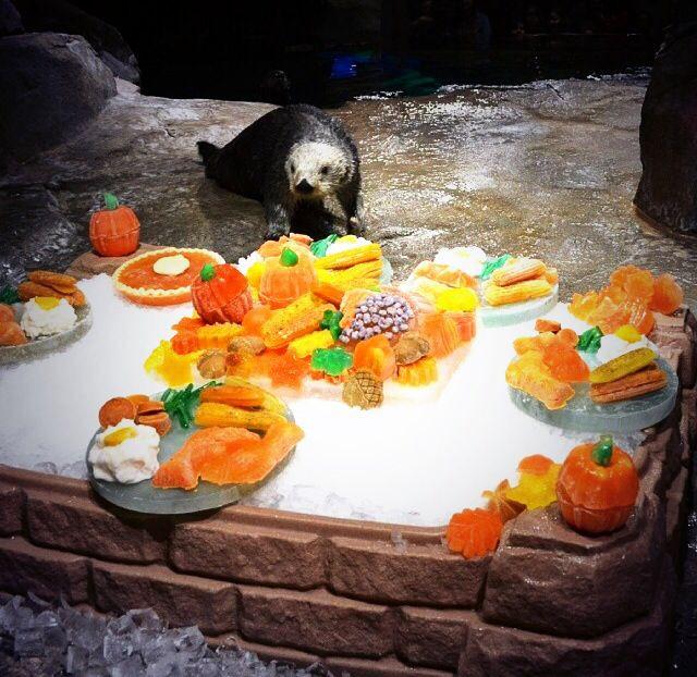 Georgia Aquarium Thanksgiving  Happy Thanksgiving from Oz the sea otter at the Georgia