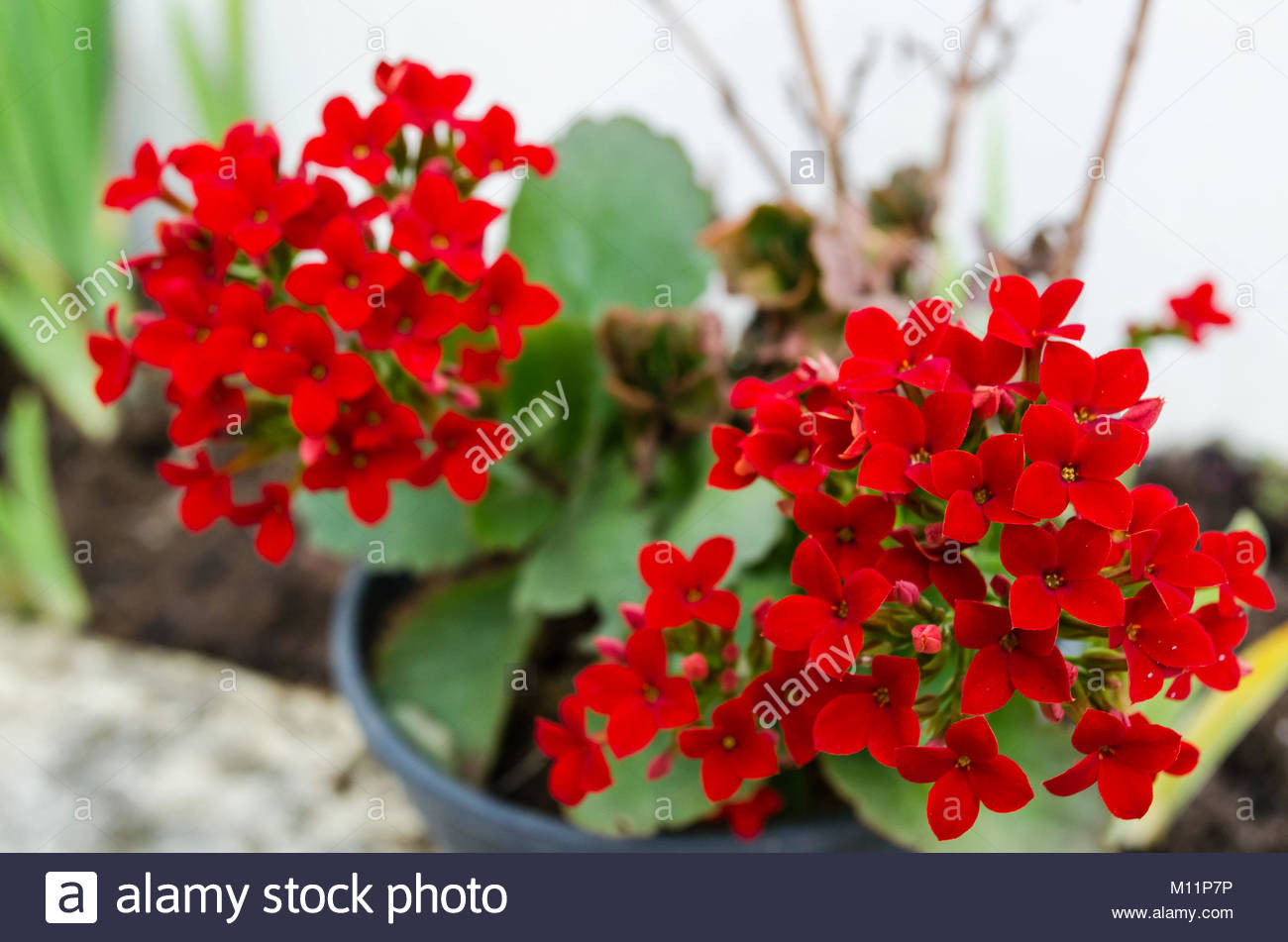 Red Christmas Flower Names  Flaming Katy Stock s & Flaming Katy Stock Alamy