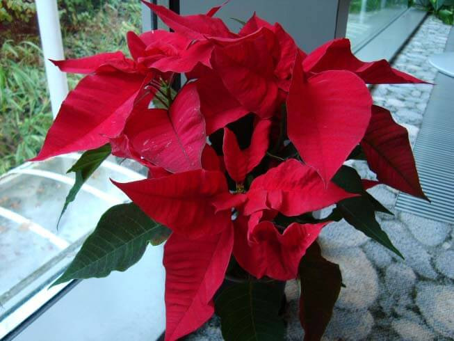 Red Christmas Flower Names  Poinsettia Euphorbia pulcherrima Guide
