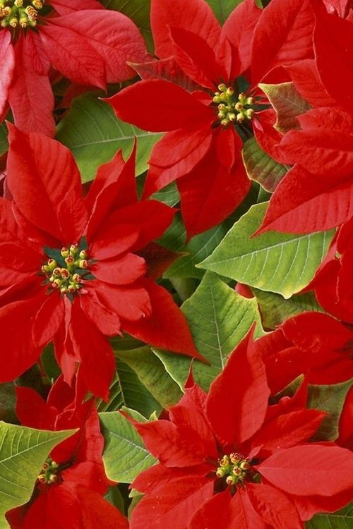 Red Christmas Flower Names  1000 images about Poinsettia Flores on Pinterest