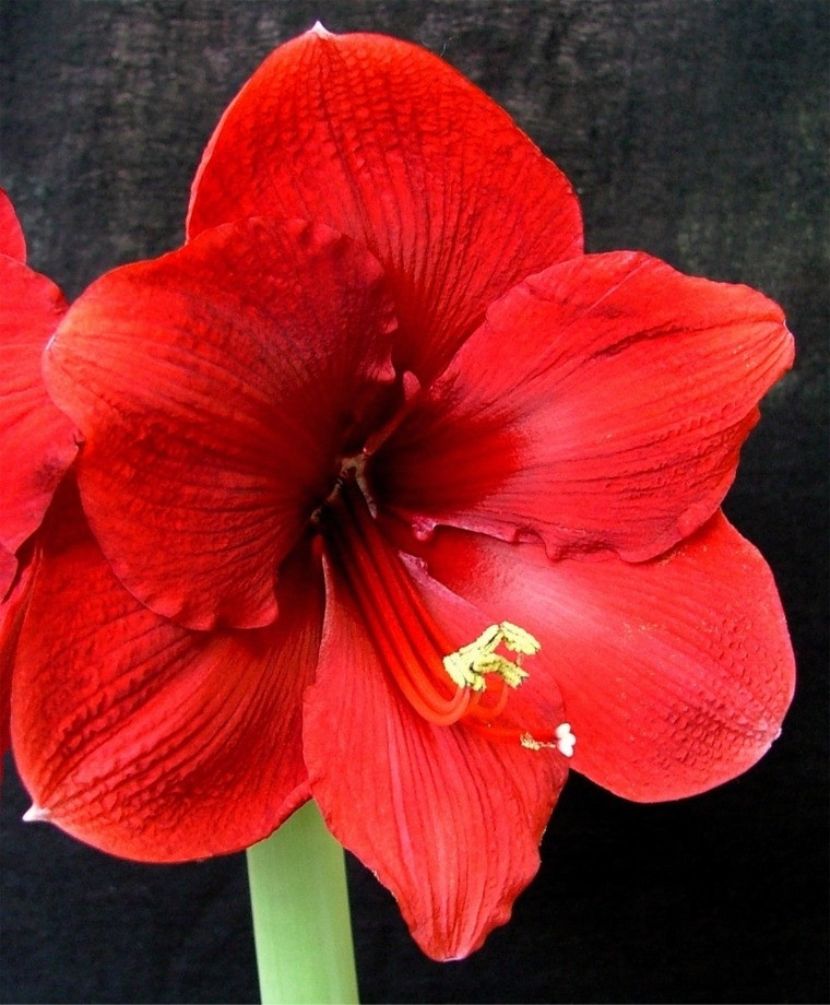 Red Christmas Flower Names  Amaryllis Miracle Christmas Flowering Single Amaryllis