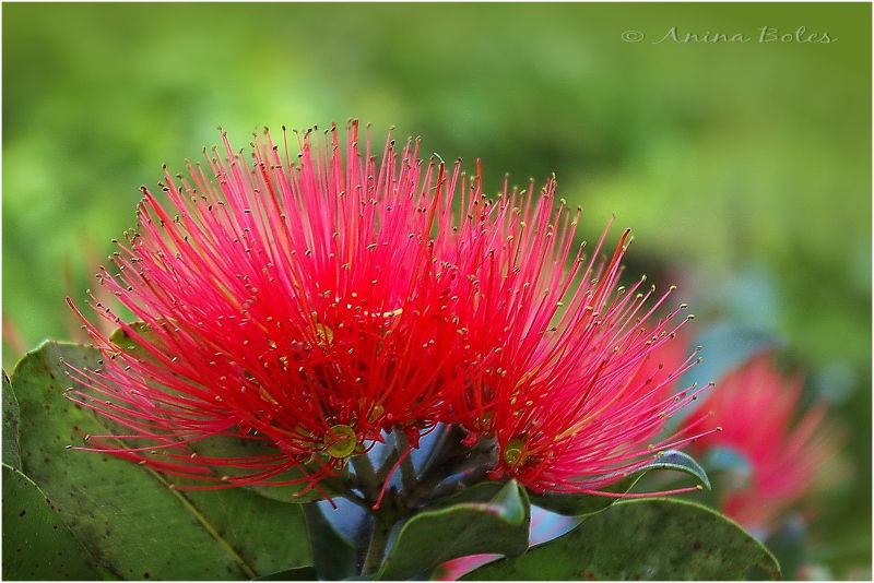 Red Christmas Flower Names  The New Zealand Christmas Tree Plant & Nature s