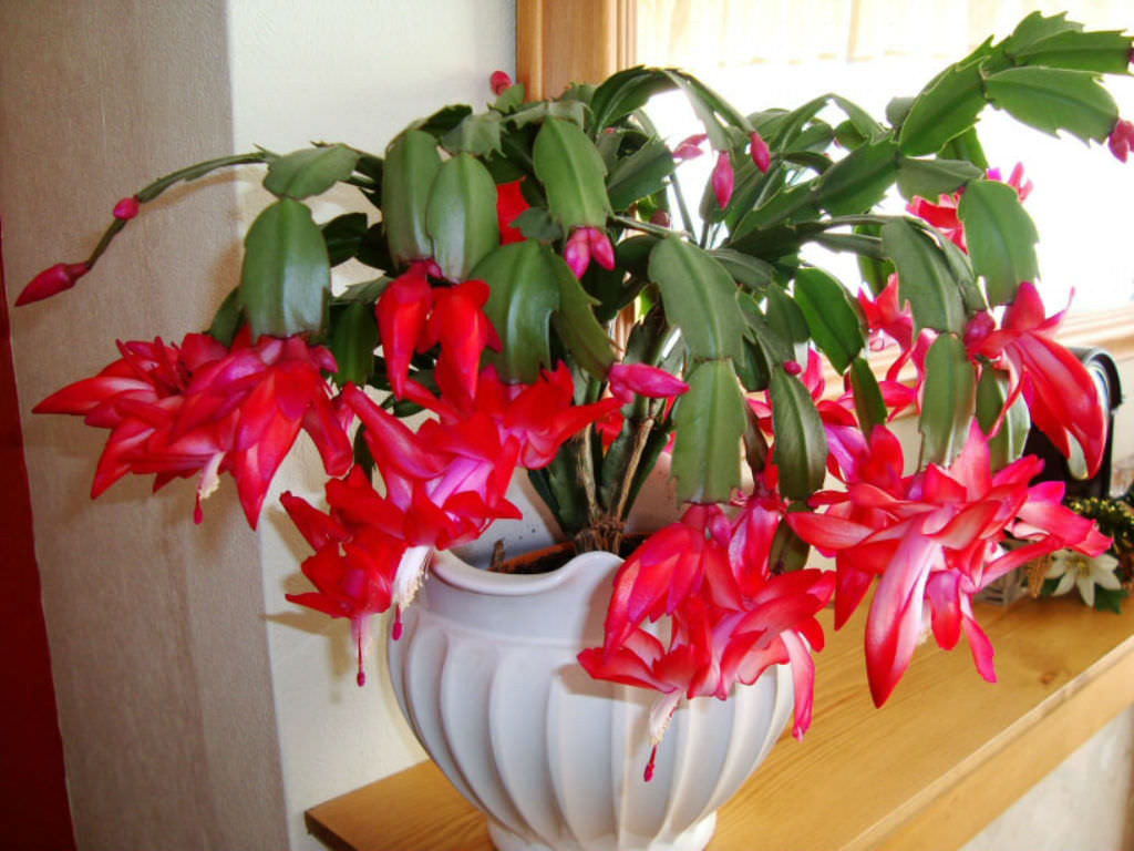 Christmas Catus Flower  10 Facts About Christmas Cacti