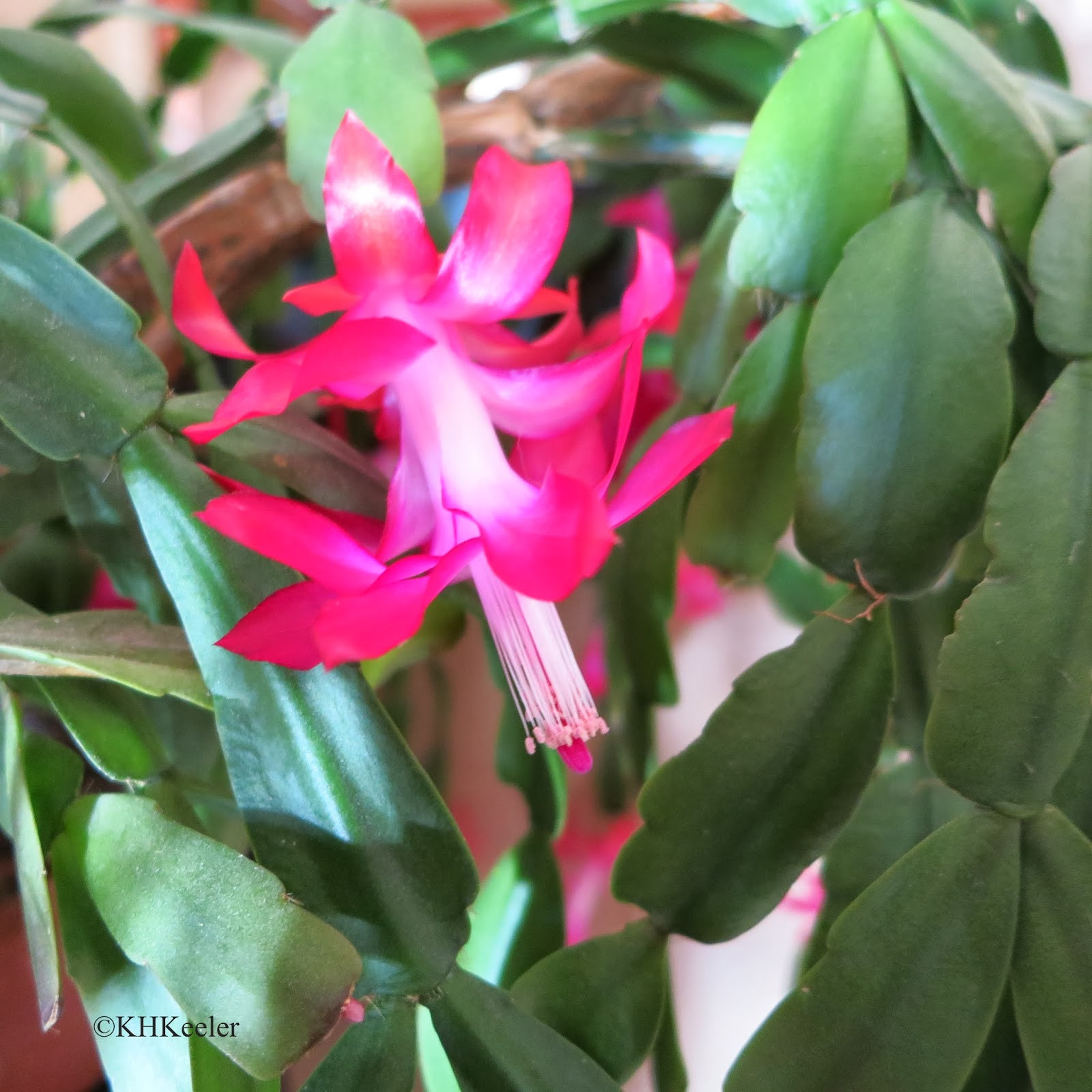 Christmas Catus Flower  A Wandering Botanist Growing a Happy Christmas Cactus