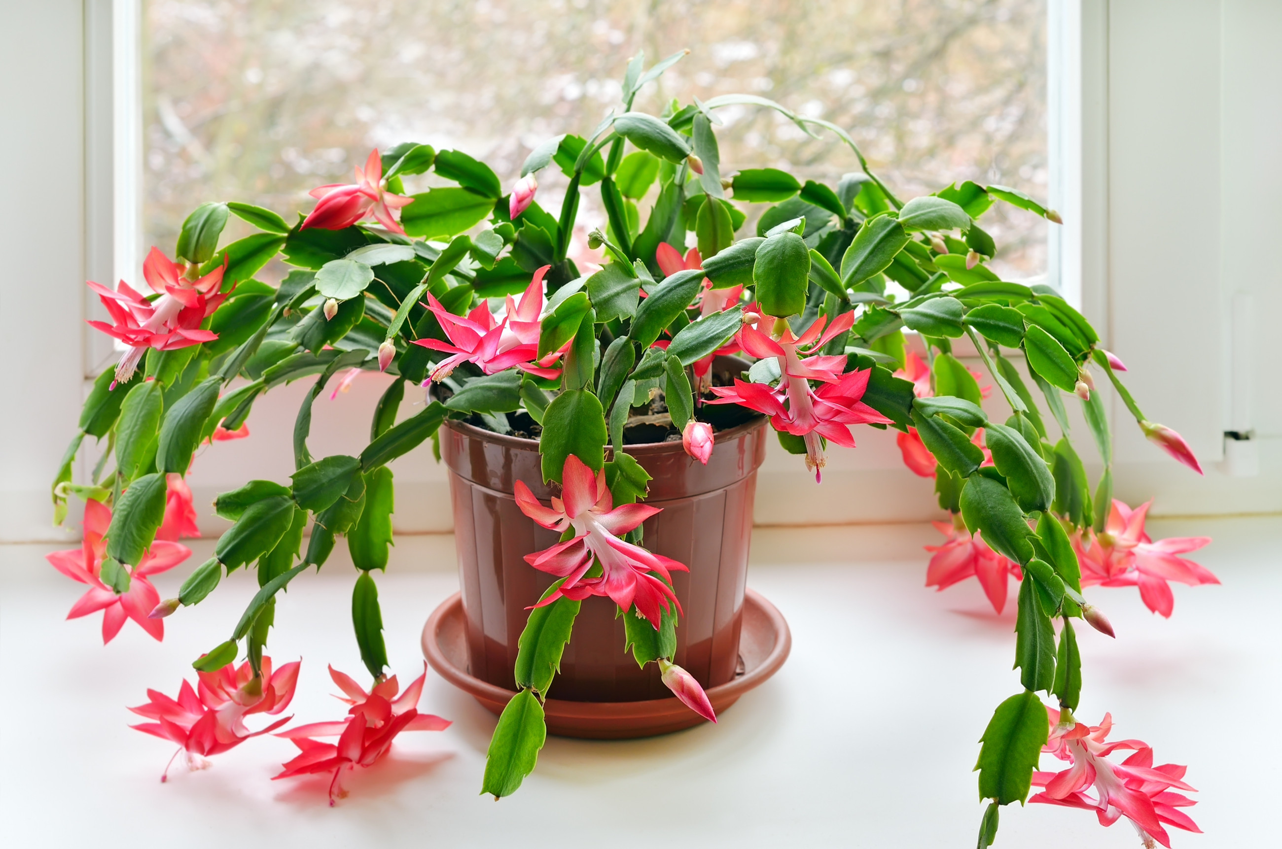 Christmas Catus Flower  Christmas Cactus How To Care For Holiday Cacti