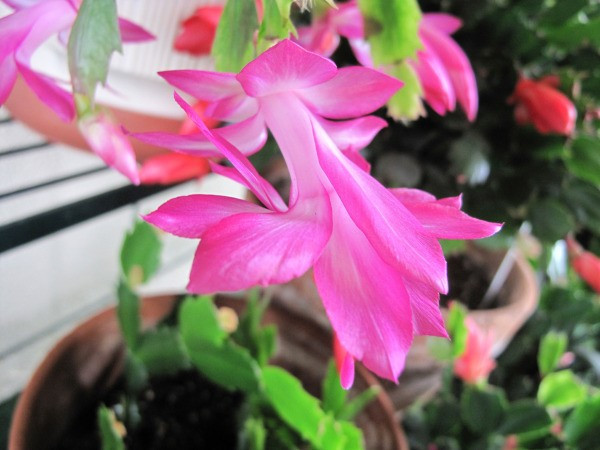 Christmas Catus Flower  Getting a Christmas Cactus to Bloom
