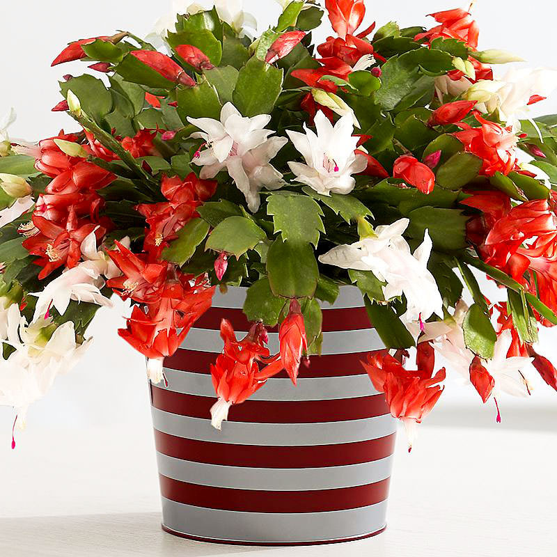 Christmas Catus Flower  How to Make a Christmas Cactus Bloom at Christmas