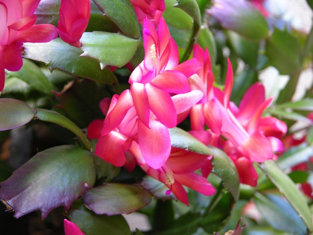 Christmas Catus Flower  Tips Getting Christmas Catus Plants To Bloom