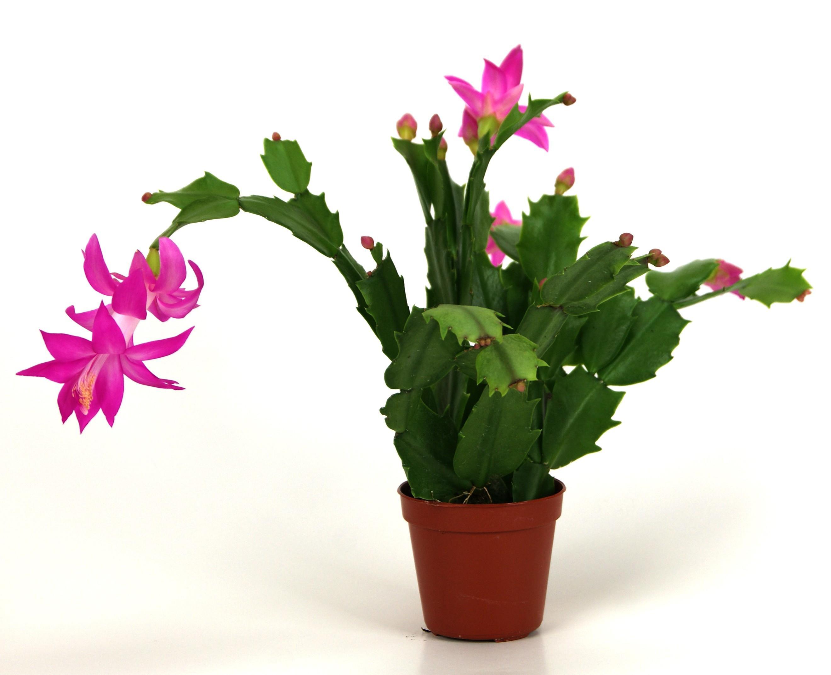 Christmas Catus Flower  Blog