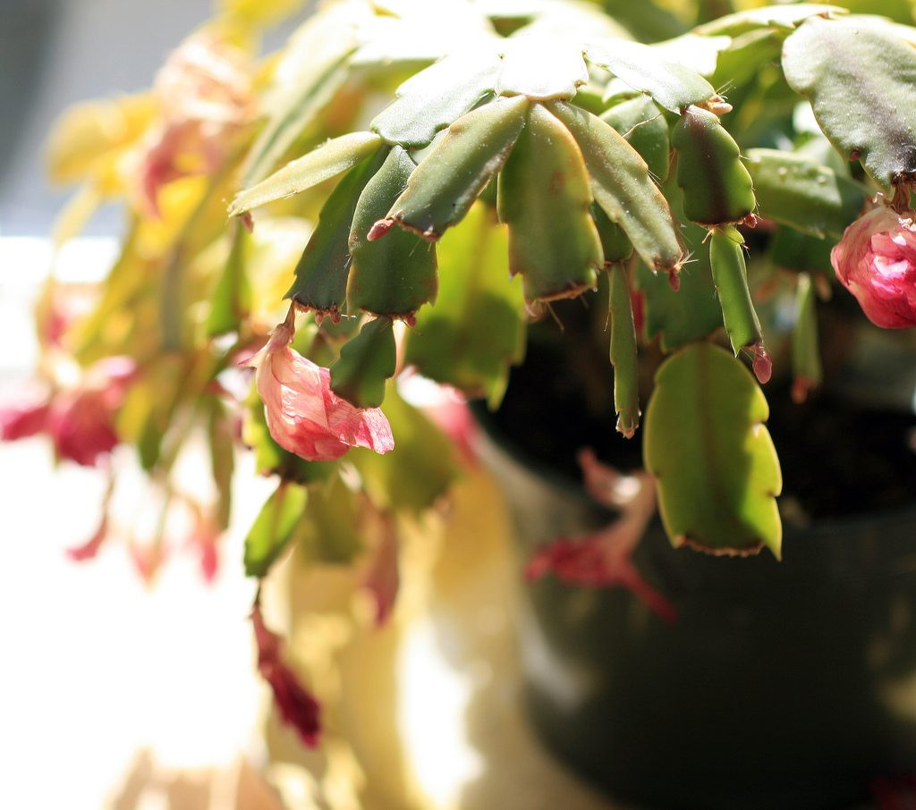 Christmas Catus Flower  Christmas Cactus Blooms Wilt Why Christmas Cactus