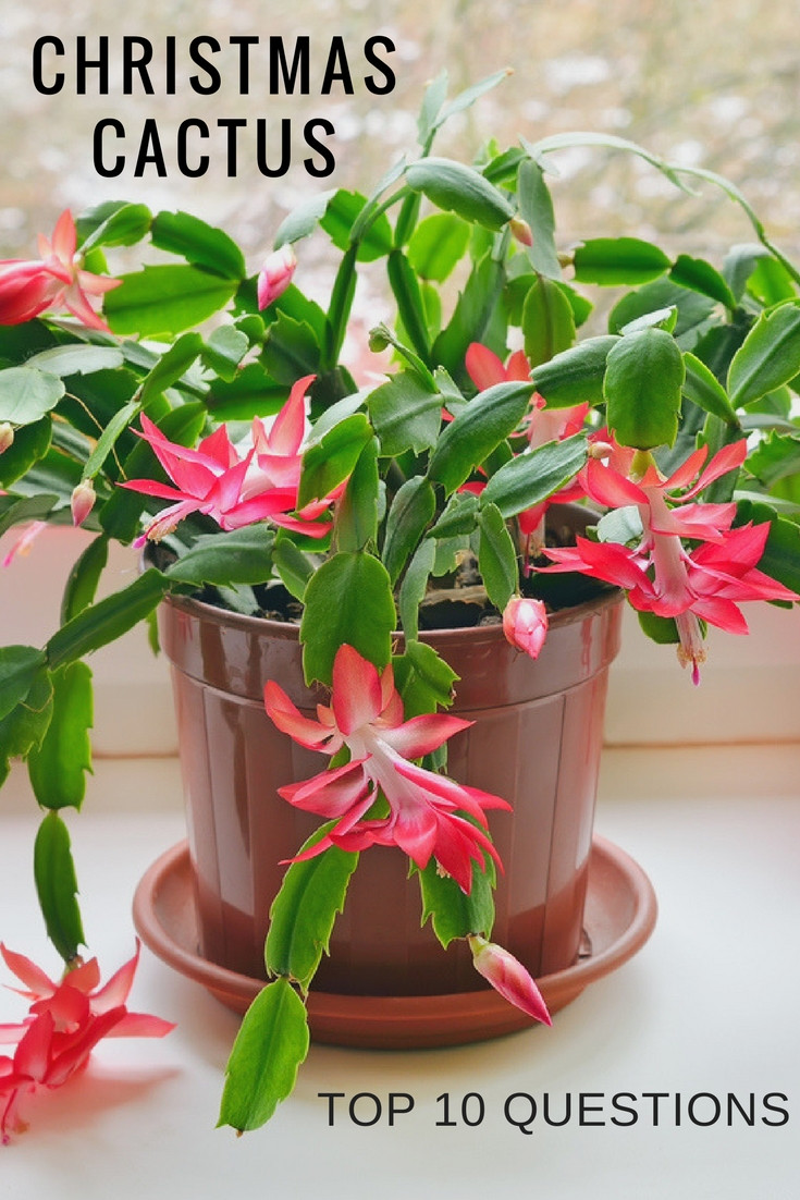 Christmas Catus Flower  Top 10 Questions About Christmas Cactus Plants Gardening