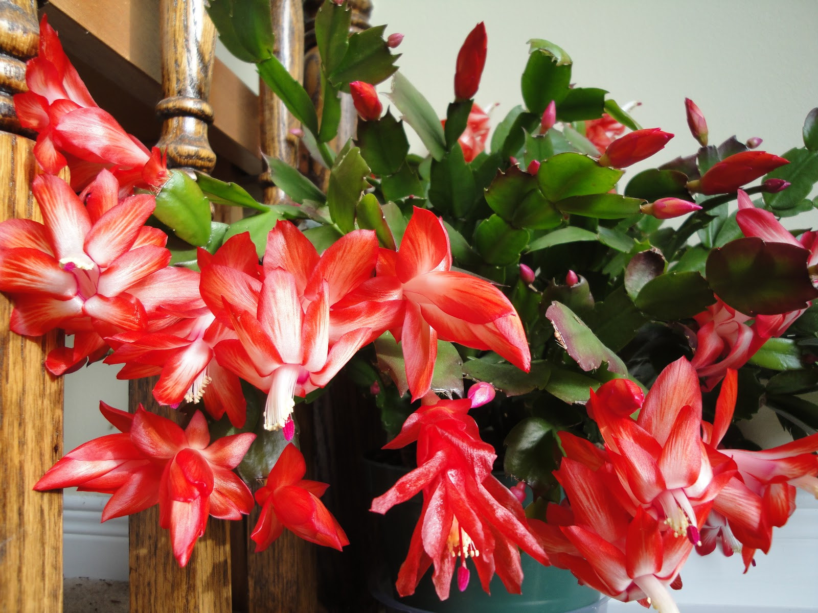 Christmas Catus Flower  Easy to Grow Plants HOUSEPLANTS The Fancy Flora