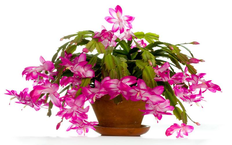 Christmas Catus Flower  Christmas Cactus How to Grow and Care for Christmas