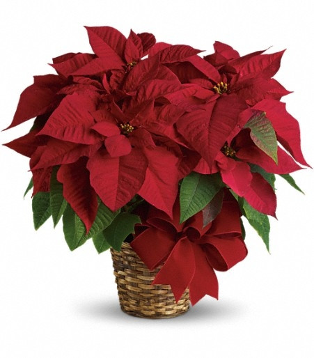 Christmas Flower Delivery Usa  Poinsettia Care