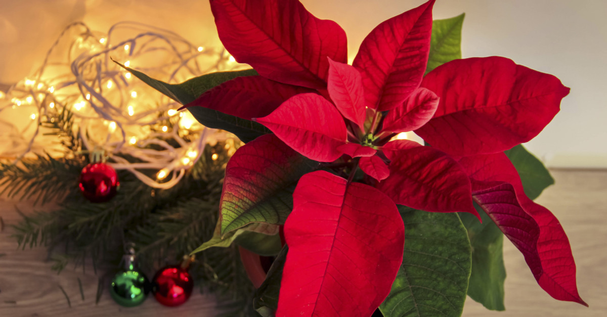 Christmas Flower Delivery Usa  Poinsettia History and Tradition of the Christmas Flower