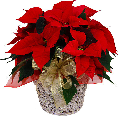 Christmas Flower Delivery Usa  Christmas Plants & Poinsettias · Red Poinsettia Plants