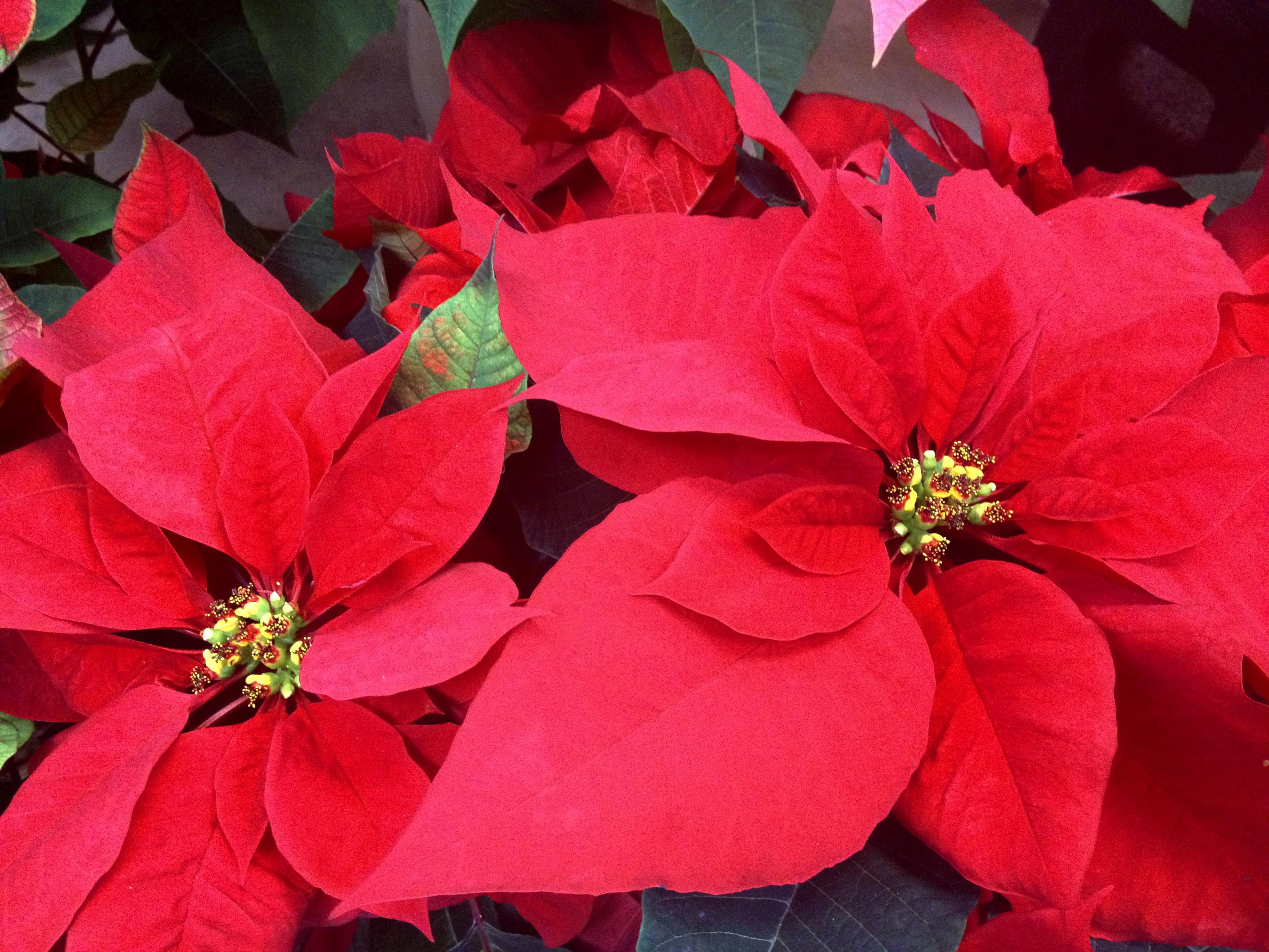 Red Christmas Flower  Poinsettia The Christmas Flower Freytags Florist