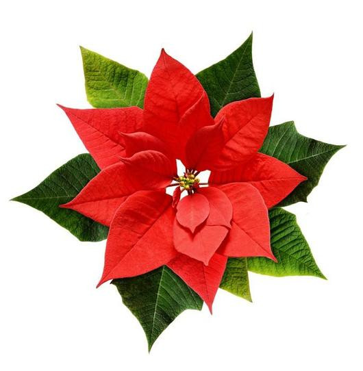 Red Christmas Flower  Red Christmas Poinsettia Flower Wall Decal – WallMonkeys