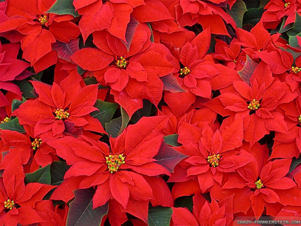 Red Christmas Flower  Red Flowers For Christmas 11 Background Wallpaper