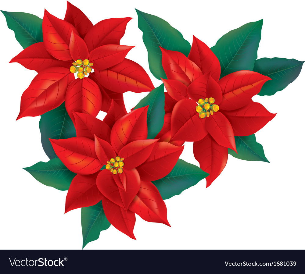 Red Christmas Flower  Red Poinsettia christmas flower Royalty Free Vector Image