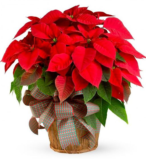 Red Christmas Flower  The Farmer Fred Rant Poinsettia Pointers