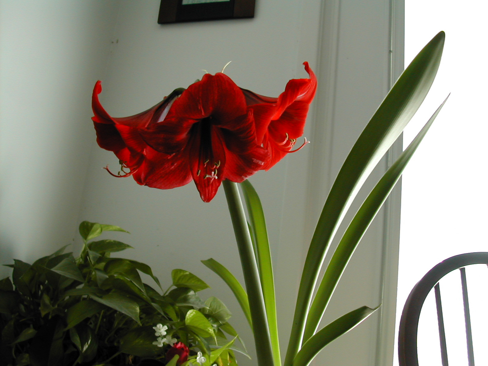 Red Christmas Flower  The Other Red Christmas Flower Amaryllis Planting and