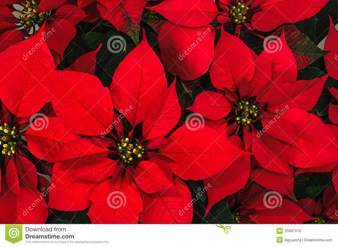 Red Christmas Flower  Poinsettia Flower Royalty Free Stock Image Image